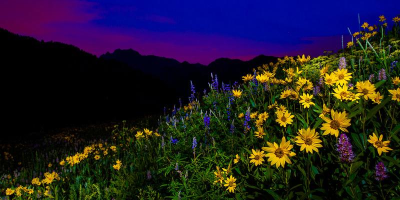 Wildflowers of Albion Basin, Utah