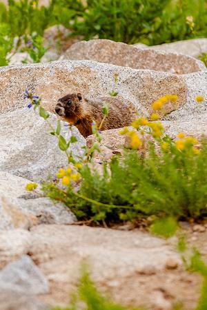 baby yellow bellied marmot